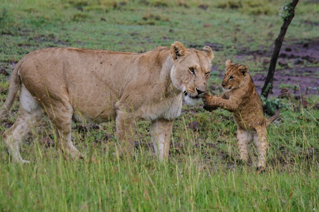 Kenya_Laikipia Wildlife Conservation Baby Lion May 13