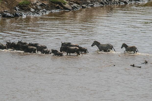Kenya_Mara River crossing July 13