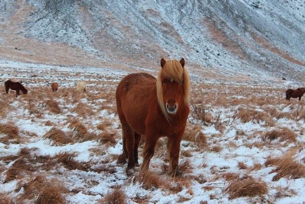 izlanda_ati_icelandic_horse