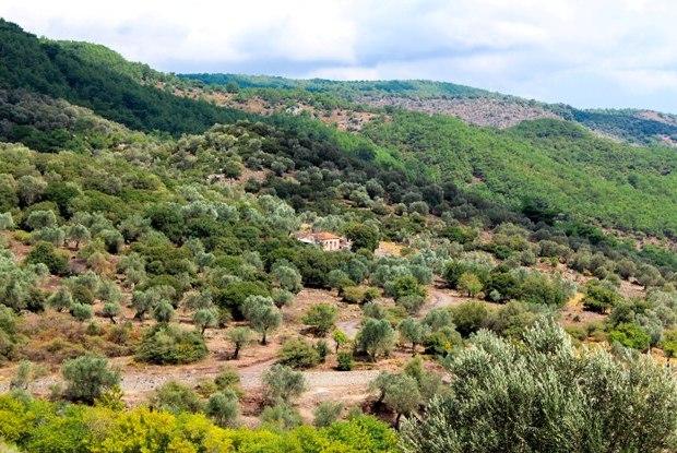 midilli-zeytin-agaclari